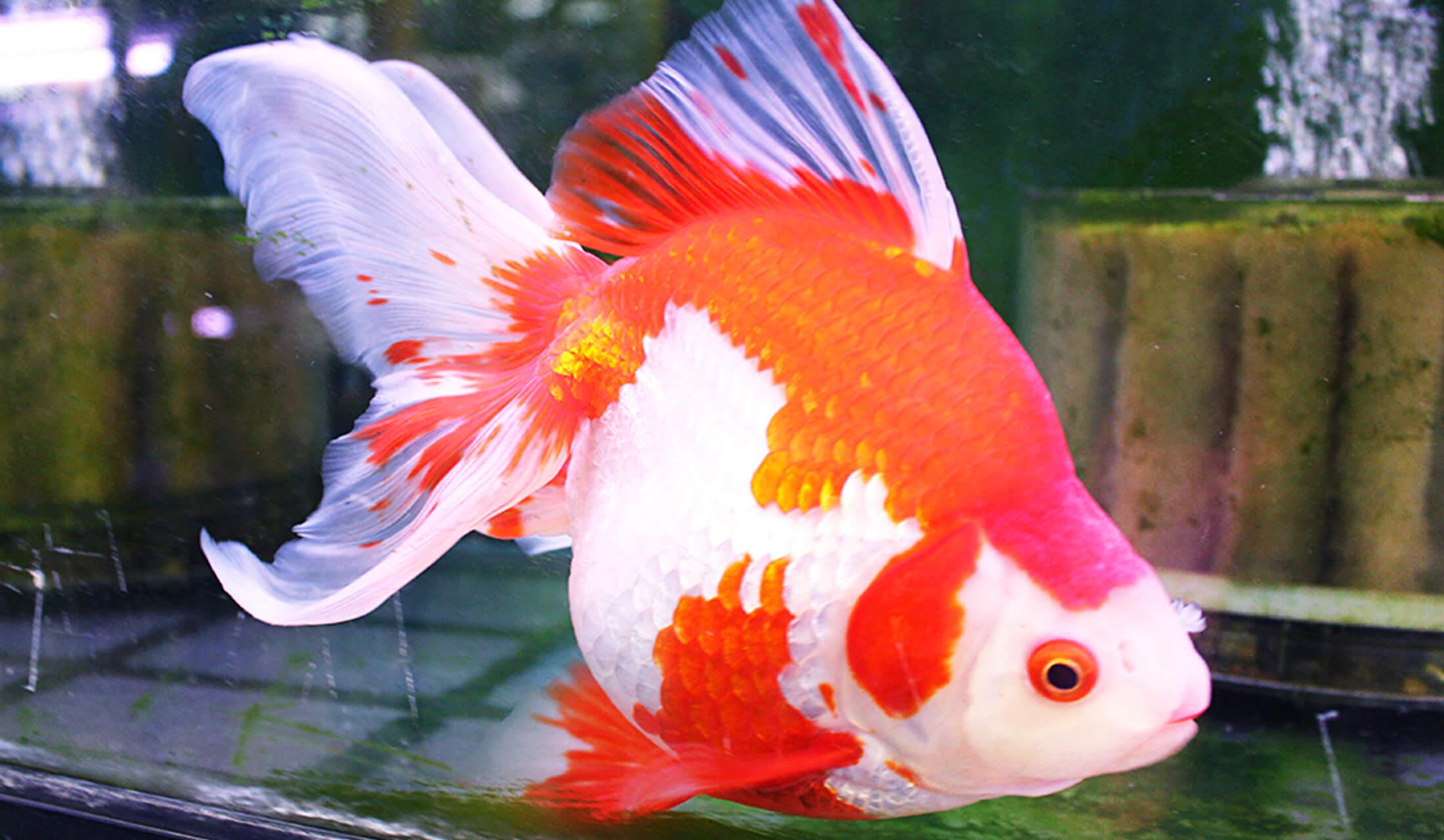 高級金魚の代表、「琉金(りゅうきん)」が水槽内を泳いでいる
