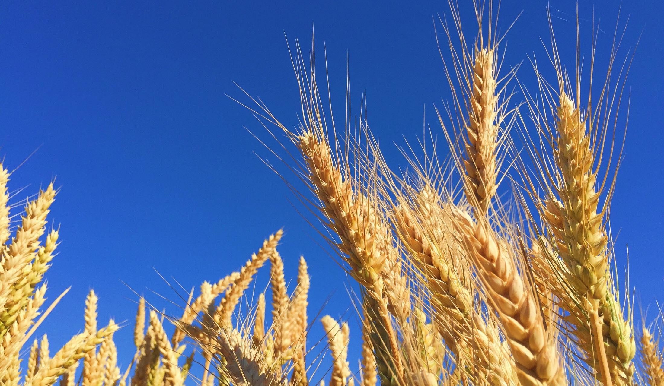 青空と麦の穂