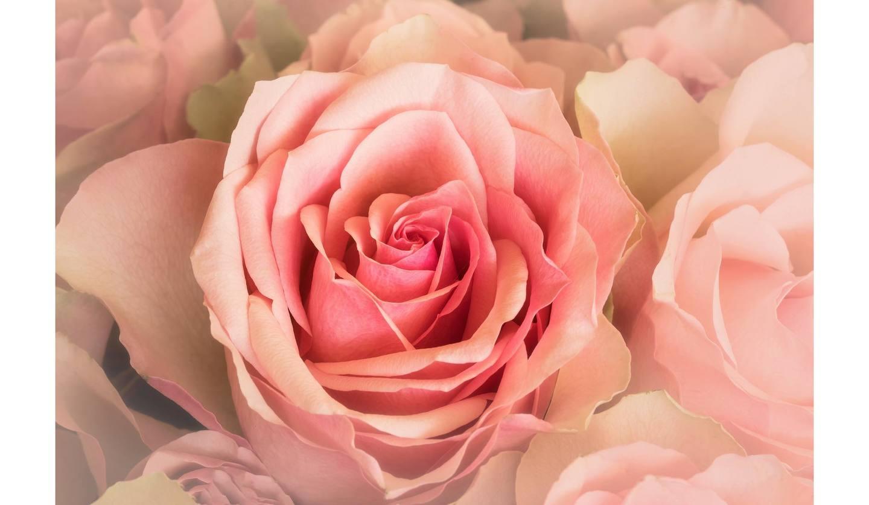 ピンクの薔薇の写真。ローズ精油のパワーを検証。
