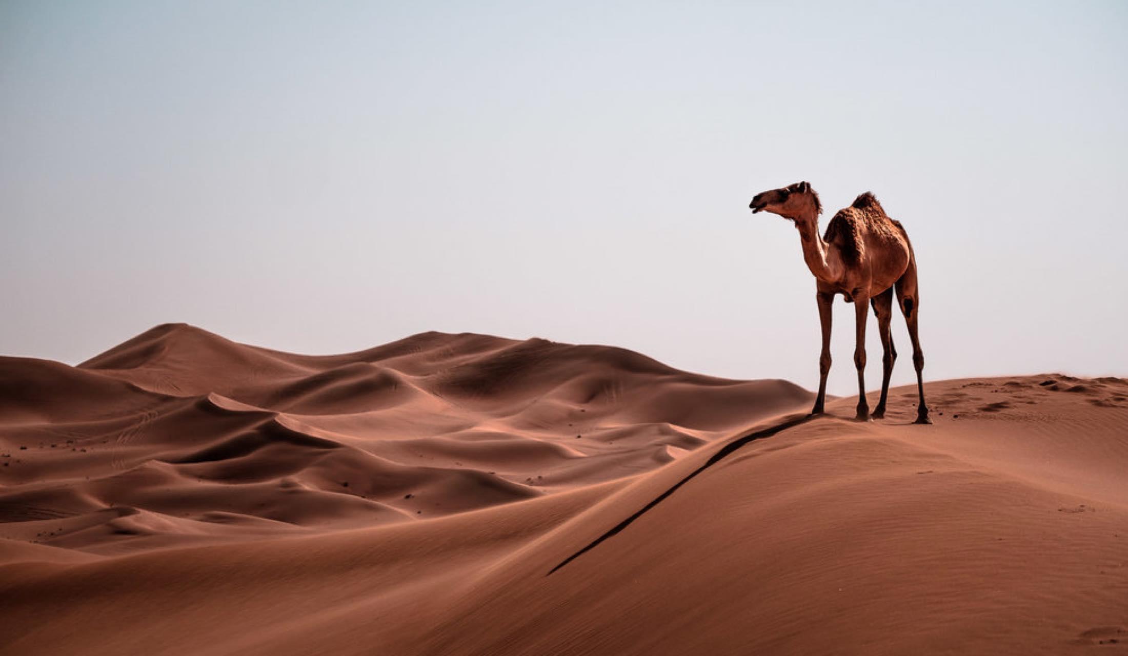 ドバイの砂漠とラクダ