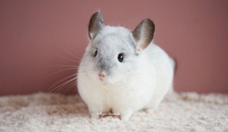全体に白く、顔が薄いグレー、耳が濃いグレーのチンチラ
