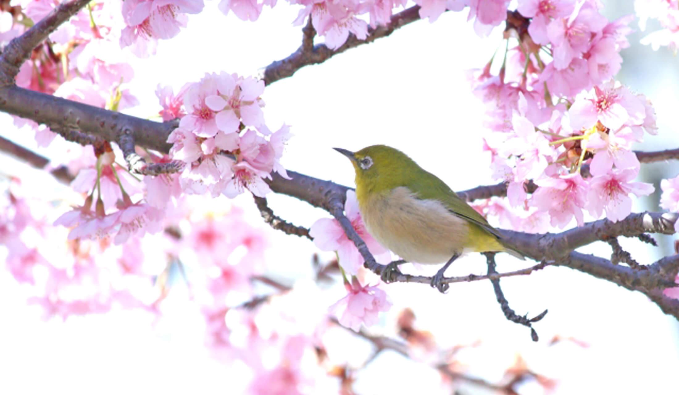 満開の桜の木の枝に一羽のメジロがとまっている