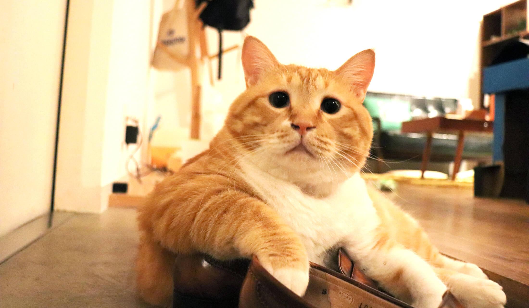 茶トラの猫「ぐっぴー」が、玄関の靴に腕を乗せて堂々と寝転がっている