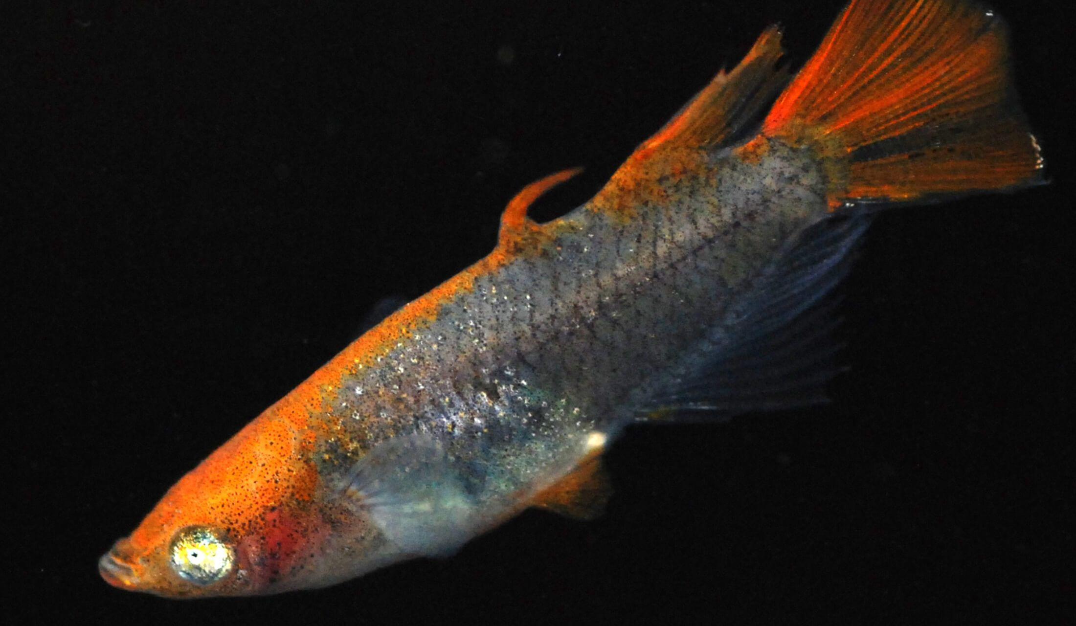 「めだかの館」で最高額がついたメダカは、2010年につくられた「琥珀透明鱗スモールアイサムライメダカ」という品種。