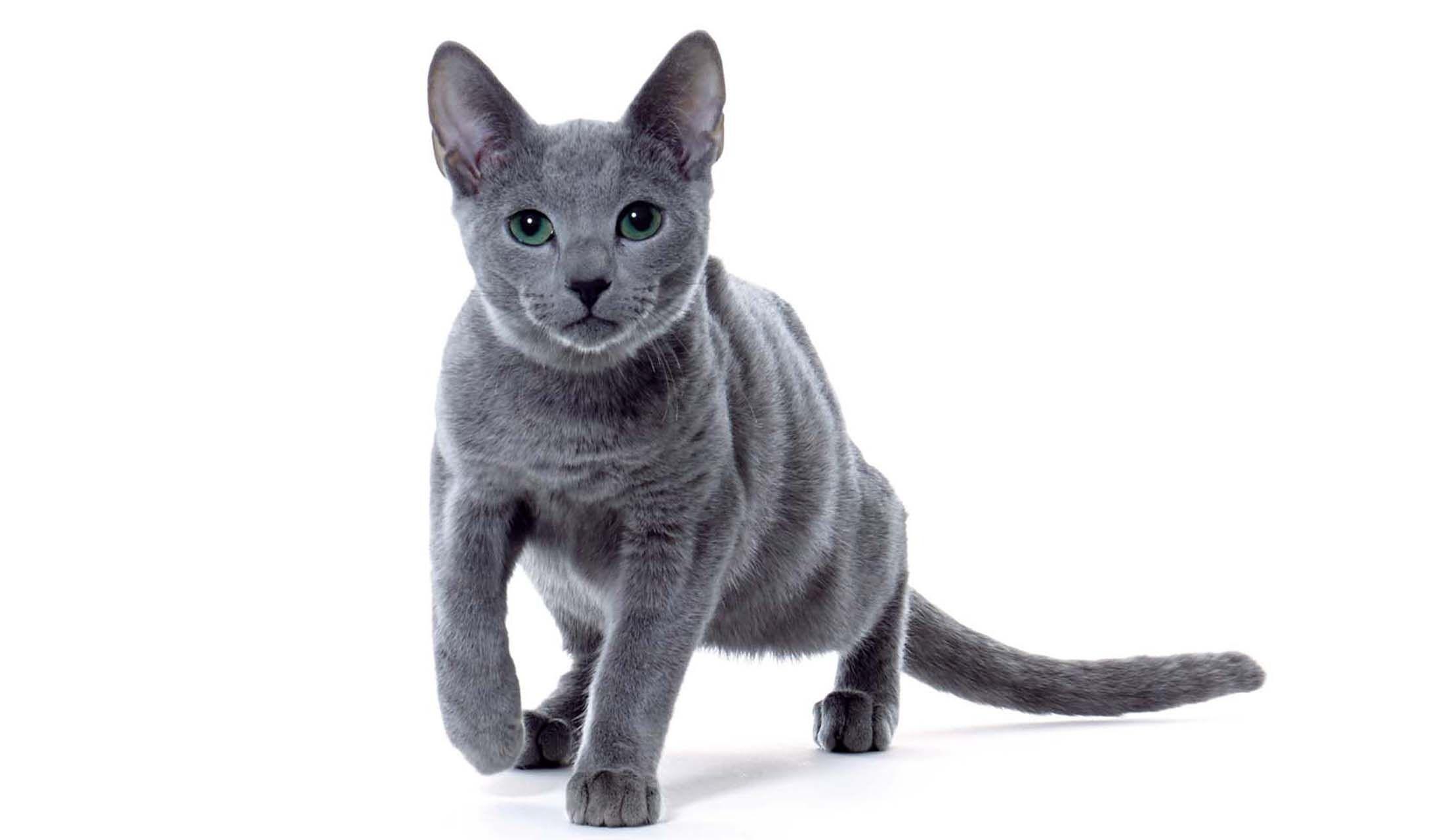 猫・ロシアンブルー