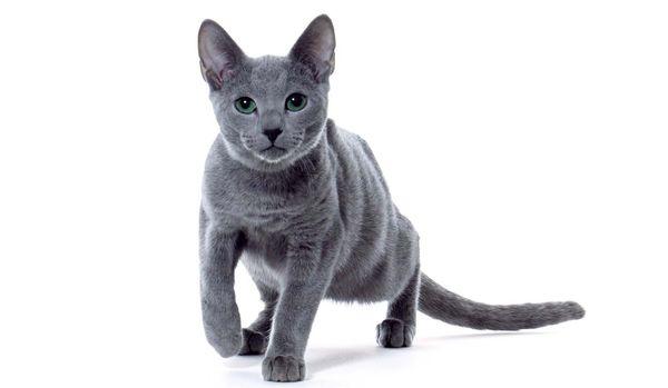 美しくて癒される猫「ロシアンブルー」の仕草いろいろ