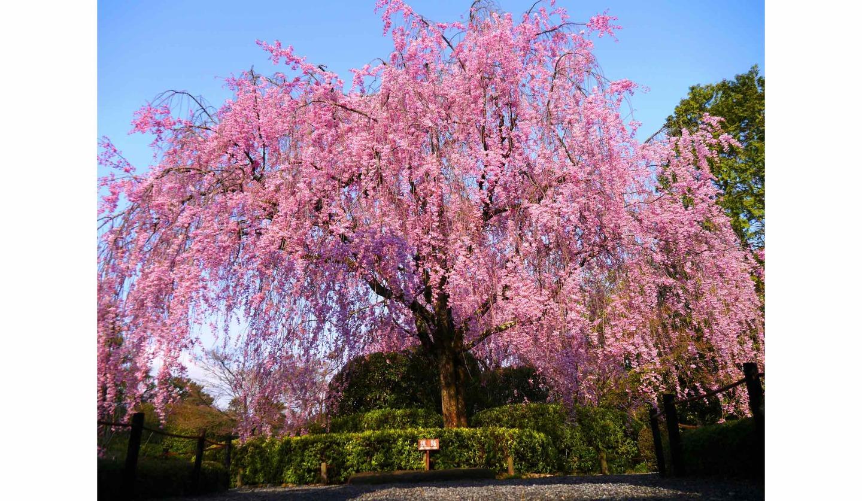 桜の京都をエクスクルーシブに満喫、退蔵院の桜