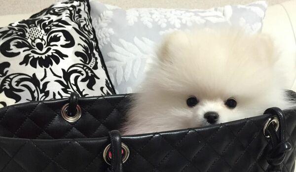 手のひらサイズの「極小ポメラニアン」ってどんな犬?特徴や飼い方を紹介