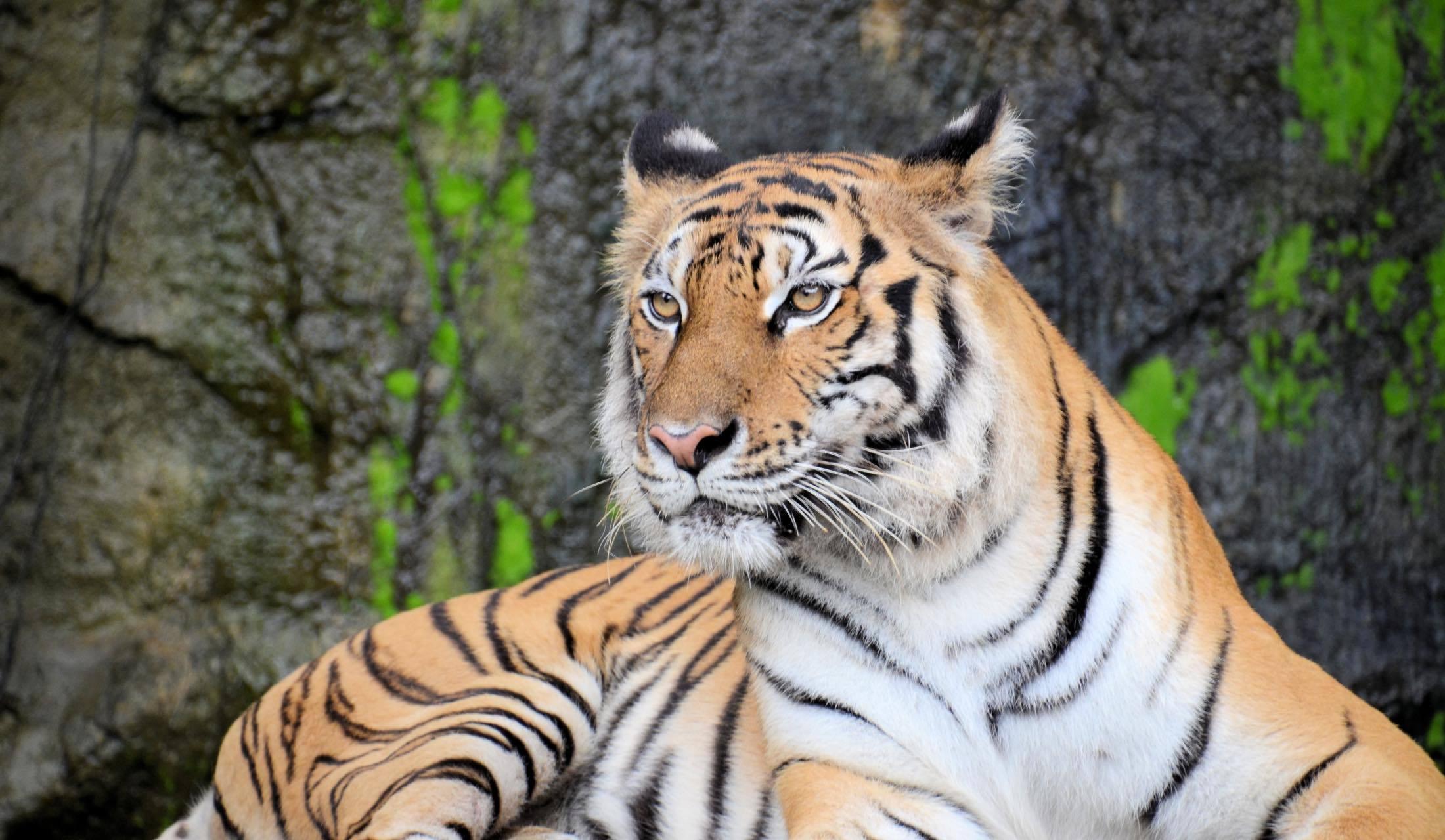 威嚇する虎