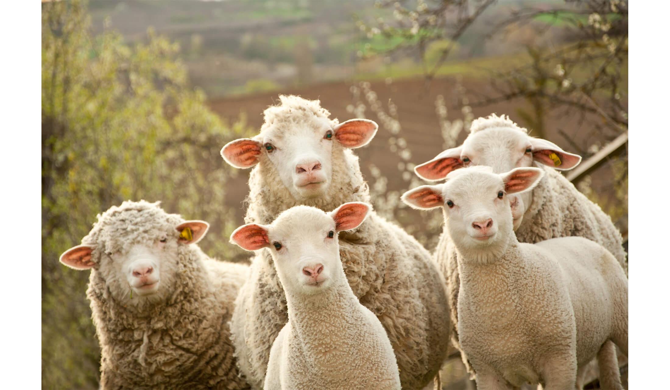5匹の羊が同時にこちらを向いている様子