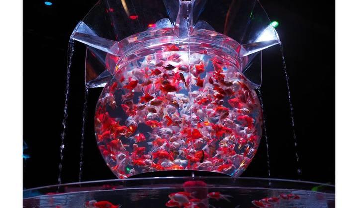巨大金魚鉢シリーズ「花魁/Oiran」