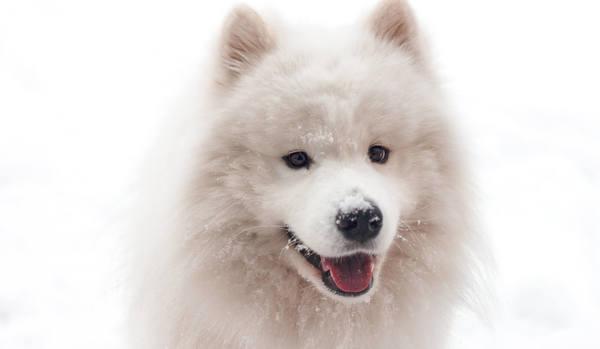 富裕層に愛されるフサフサ犬!「サモエド」の魅力とは?