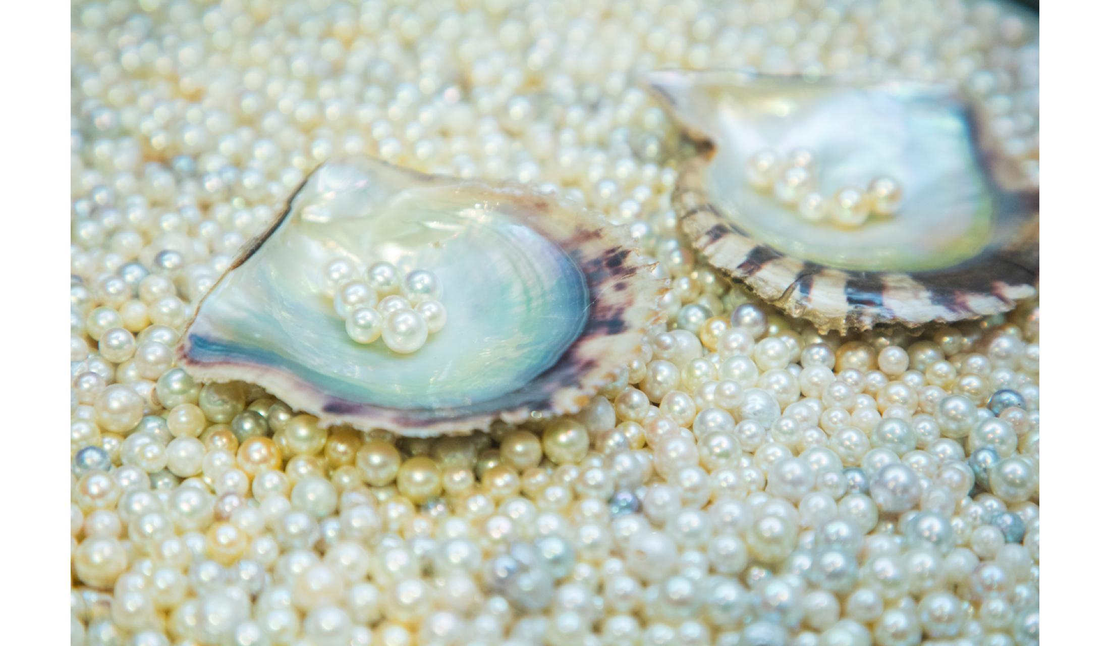 ミキモト真珠島で養殖されたアコヤ貝と美しい真珠。